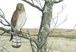 A magestic Northern Harrier perched upon a tree branch overlooking grasslands. Link to Arthur Moniz Gallery Nature & Wildlife Prints Gallery 7